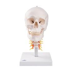 3B Cráneo Clásico sobre Columna Cervical
