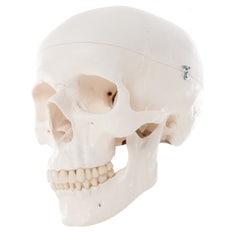 Cráneo 3 partes 3B