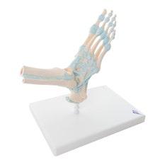 3B Modelo del esqueleto del pie