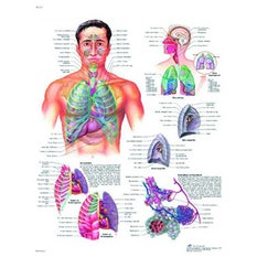 Lámina 3B Aparato Respiratotio