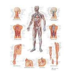 Lámina 3B El Sistema Vascular