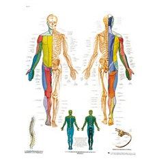 Lámina 3B El Sistema Nervioso Periférico