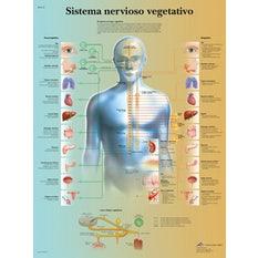Lámina 3B El Sistema Nervioso Vegetativo