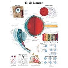 Lámina 3B El Ojo Humano